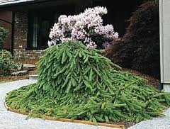 Weeping-Norway-Spruce-shrub-evergreen