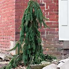 Wpg-Norway-Spruce-tree-form