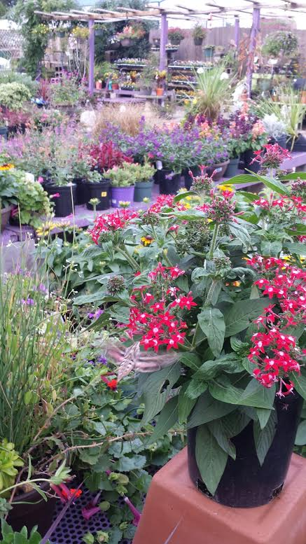 Home / Omaha Nursery / Annuals And Tropicalu0027s · Index
